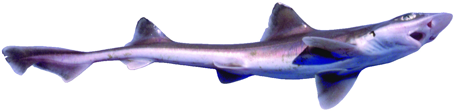 brown smoothhound shark