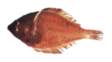 Longfin Sanddab