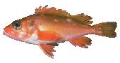 Rosethorn Rockfish
