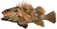 brown rockfish