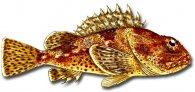 Image of california scorpionfish