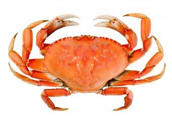 DungenessCrab